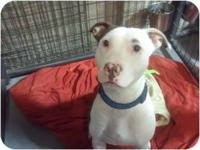 American Staffordshire Terrier - June Bug (tr) - Medium