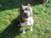 American Staffordshire Terrier - Larry - Large - Adult