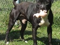 American Staffordshire Terrier - Leo - Large - Young -