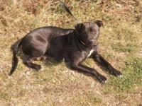 American Staffordshire Terrier - Lucy - Medium - Adult