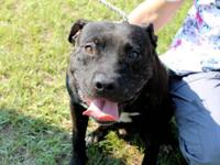 American Staffordshire Terrier - Mac - Large - Adult -
