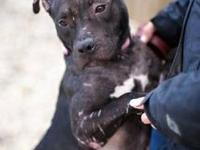 American Staffordshire Terrier - *mama* A.k.a Charlotte