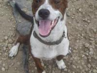 American Staffordshire Terrier - Marley - Medium -