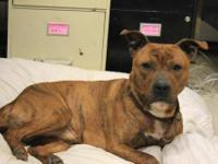 American Staffordshire Terrier - Max - Large - Adult -