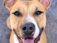 American Staffordshire Terrier - Megs - Medium - Adult