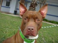 American Staffordshire Terrier - Milo - Medium - Young