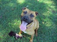 American Staffordshire Terrier - Nilah - Medium - Young