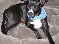 American Staffordshire Terrier - Orphan - Medium -