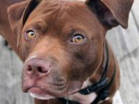 American Staffordshire Terrier - Oscar - Medium - Young