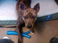 American Staffordshire Terrier - Paxton - Medium -