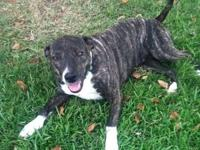 American Staffordshire Terrier - Pepper - Large - Adult