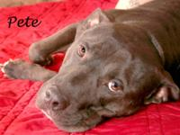 American Staffordshire Terrier - Pete - Large - Adult -