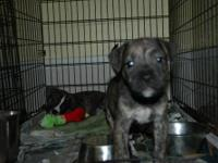 American Staffordshire Terrier - Pups-am. Staff - Large