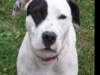 American Staffordshire Terrier - Rizzo - Large - Adult