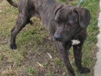 American Staffordshire Terrier - Roxy - Medium - Adult