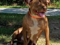 American Staffordshire Terrier - Roxy - Medium - Adult