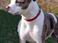 American Staffordshire Terrier - Roxy - Medium - Young