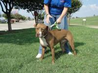 American Staffordshire Terrier - Sabrina - Medium -