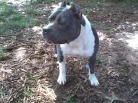 American Staffordshire Terrier - Simon - Large - Young