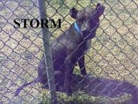 American Staffordshire Terrier - Storm - Medium - Adult
