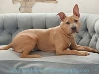 American Staffordshire Terrier - Thelma - Large - Young