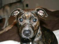 American Staffordshire Terrier - Timber - Medium - Baby