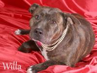 American Staffordshire Terrier - Willa - Medium - Young