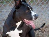 American Staffordshire Terrier - Xena - Large - Adult -