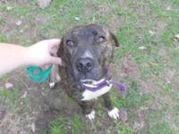 American Staffordshire Terrier - Yogi - Large - Young -