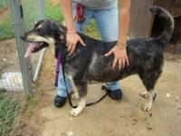 American Staffordshire Terrier - Zander - Medium -