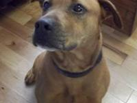 American Staffordshire Terrier - Zeus - Large - Young -