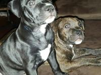 American Staffordshire Terriers For Sale 8.5 weeks old.