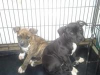 2 female bully pitbull massive puppies 3 mths old. Had