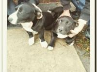 I have 2 gorgeous american pit terrier mixed pups, they