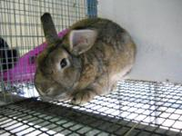 American - Thumper - Medium - Young - Male - Rabbit