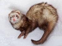 American - Trixie - Ferret - Medium - Adult - Female -