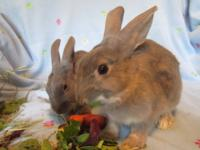 American - Tupac - Small - Adult - Male - Rabbit
