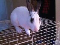 American - Youngest Bunnies - Large - Baby - Female -