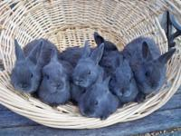 I have American Rabbits Babies. $20 male $30 female