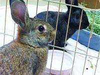 American - Brooke - Medium - Young - Female - Rabbit