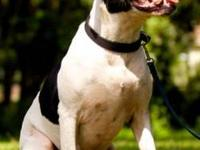 American Bulldog - A592473 - Large - Adult - Male -
