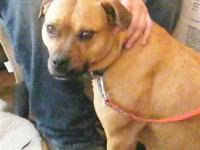 American Bulldog - Caramel - Medium - Young - Female -