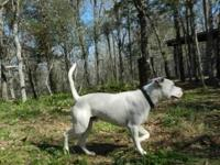 American Bulldog - Mason - Large - Adult - Male - Dog