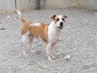 American Bulldog - Taz - Large - Adult - Male - Dog