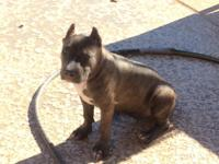 4 month old Female American Bully puppy with UKC