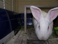 American - Peaches - Small - Adult - Female - Rabbit