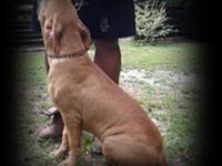 UKC registered, eight month old male American Pit Bull
