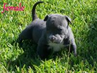 American Pitbull Terrier , Dax grandson and