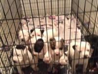 I have 7 pitbull puppies for sale. mother and daddy on