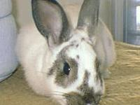 American - Rabbits - Medium - Young - Female - Rabbit